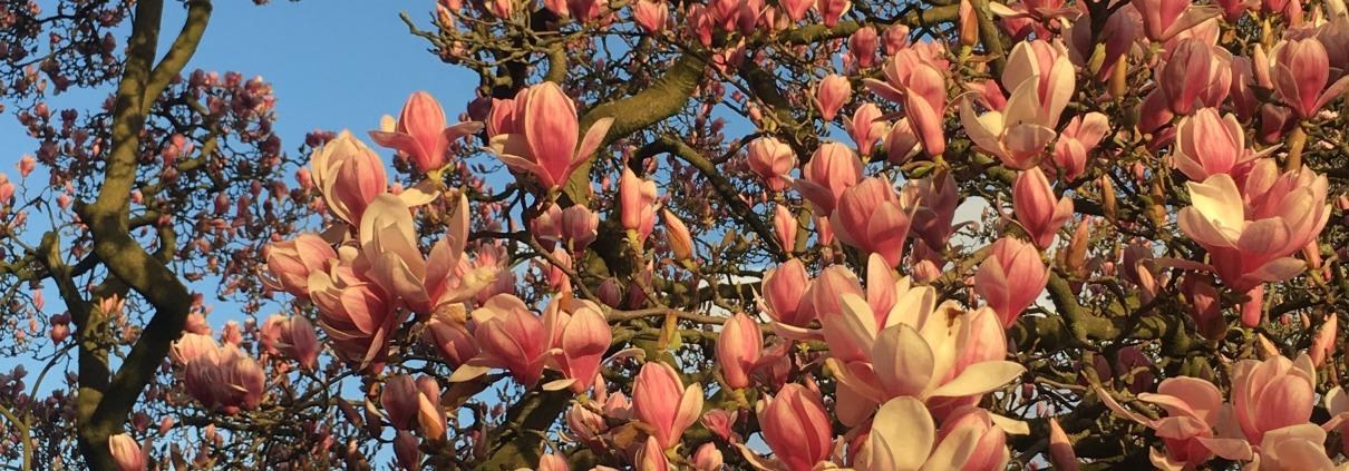 Magnolien, April 2021